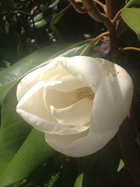 My favorite flowering tree, the beautiful magnolia