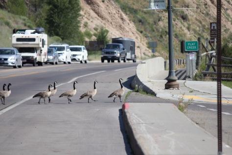 Canada Goose traffic jam