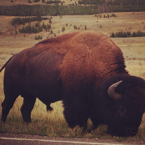 My Honeypie tells me they're actually called bison, but I'll stick which tradition and call them buffalo :)
