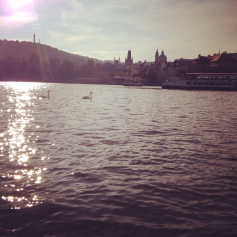 Swans on the Vltava River in Prague